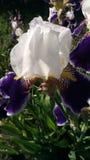 Closeup of iris flower stock photos