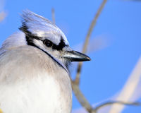 Closeup Of A Blue Jay Stock Photography