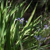 Closeup blue Louisiana iris flower and leaves growing in marsh water