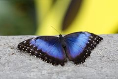 Closeup of blue morpho butterfly on concrete. With soft focus yellow and green background royalty free stock photos