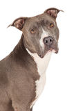 Closeup of a Blue Pit Bull Dog Stock Image