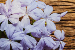 Closeup of Blue plumbago flowers on wooden background Royalty Free Stock Photography