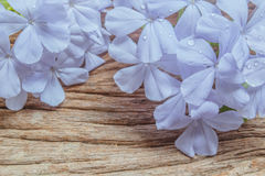 Closeup of Blue plumbago flowers on wooden background Royalty Free Stock Image