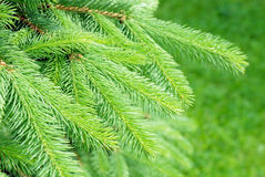 Closeup of blue spruce pine branche stock photography