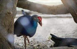Closeup blue swinhoe`s female Pheasant Lophura swinhoii in The zoo stock photography