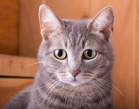 Closeup of a blue tabby cat Royalty Free Stock Images