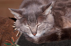 Closeup of a blue tabby cat sleepin Royalty Free Stock Photos
