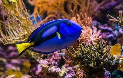 Closeup of a blue tang surgeonfish, popular tropical aquarium pet, exotic fish from the pacific ocean royalty free stock images