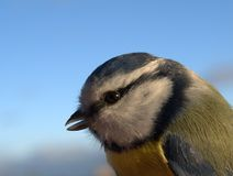 Closeup of blue tit. Blue tit against blue background stock photos