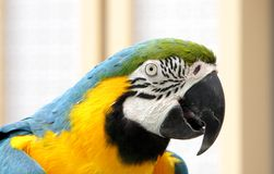 Closeup of a blue and yellow macaw Stock Photos
