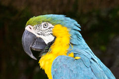Closeup of blue-and-yellow macaw Stock Photos
