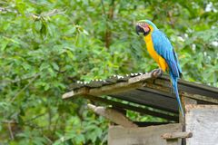 Closeup of a blue-and-yellow macaw Stock Photography