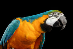 Closeup Blue and Yellow Macaw Parrot Face Isolated on Black Royalty Free Stock Photos