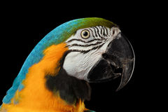 Closeup Blue and Yellow Macaw Parrot Face Isolated on Black Stock Photo