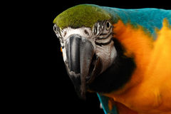 Closeup Blue and Yellow Macaw Parrot Face Isolated on Black Stock Photography