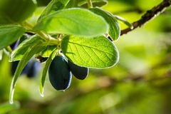 Closeup blueberries in the bush Stock Images