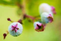Closeup of Blueberries Royalty Free Stock Photography