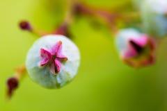 Closeup of Blueberries Stock Photos