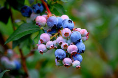 Closeup of blueberry bunch Stock Photography