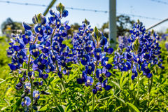 Closeup of Bluebonnets Backlit by Morning Sun Royalty Free Stock Images