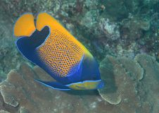 Closeup of a blueface angelfish swimming over corals of Bali stock images