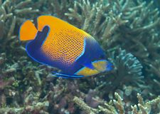 Closeup of a blueface or yellowface angelfish, Pomacanthus xanthometopon swimming over corals of Bal. I, Indonesia royalty free stock photography