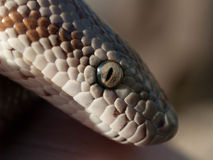 Closeup of a boa`s head and eye Stock Images
