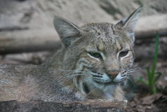 Closeup Bobcat Stock Images