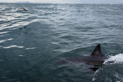 Closeup of body and fin of great white shark swimming Royalty Free Stock Image
