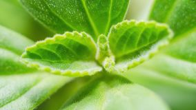 Closeup on a Boldo leaf: green plant called Boldo da Terra. Plant used to make tea and medicinal products. Plant  on white. Depth of field Royalty Free Stock Image