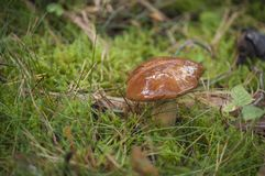 Closeup of Boletus in forest in sunlight with moos in background Royalty Free Stock Photography