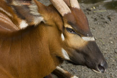 Closeup of a Bongo Antelope. This is a close up of a Bongo Antelope. This antelope has chestnut colored fur and stripe markings on the body. It's originally from stock images