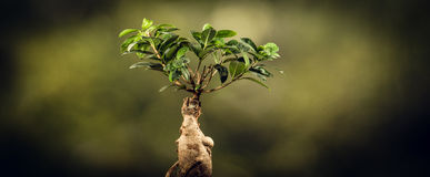 Closeup of a bonsai tree, on natural background. Stock Images