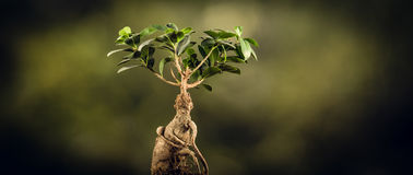 Closeup of a bonsai tree, on natural background. Royalty Free Stock Image