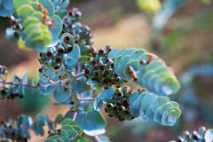 Closeup of  Bookleaf mallee plant Royalty Free Stock Images