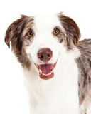 Closeup Of Border Collie Dog royalty free stock photo
