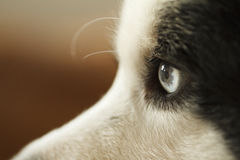 Closeup of a border collie eye. royalty free stock image