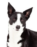 Closeup of Border Collie Mix Breed Dog Royalty Free Stock Photo