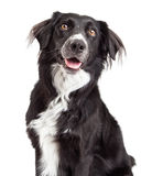 Closeup of Border Collie Mix Breed Dog. With open mouth and looking upwards Stock Images