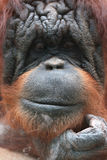 Closeup of bornean orangutan Royalty Free Stock Photo