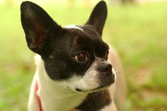 Closeup Boston Terrier Stock Photos