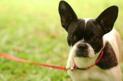 Closeup Boston Terrier. Cute boston terrier at park Stock Images