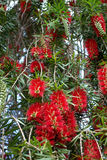 Closeup of Bottle Brush Flowers royalty free stock photo
