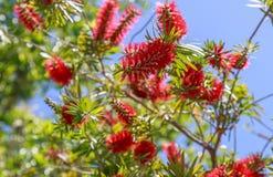 Closeup of Bottlebrush Tree Blooms Stock Photography