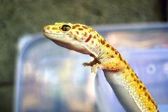 Closeup the bottled gecko stands royalty free stock images
