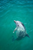 Closeup bottlenosed dolphin looking out Stock Photography
