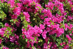 Closeup Bougainvillea Royalty Free Stock Images