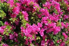Closeup Bougainvillea. Closeup image of bougainvillea in the garden on Crete island in Greece Royalty Free Stock Images
