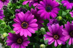 Closeup of a bouquet purple daisies Stock Photography