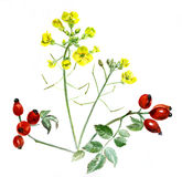 Closeup bouquet of rape and rose hips. watercolor Royalty Free Stock Photos